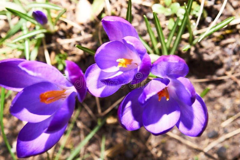 голубые цветки крокуса стоковые изображения