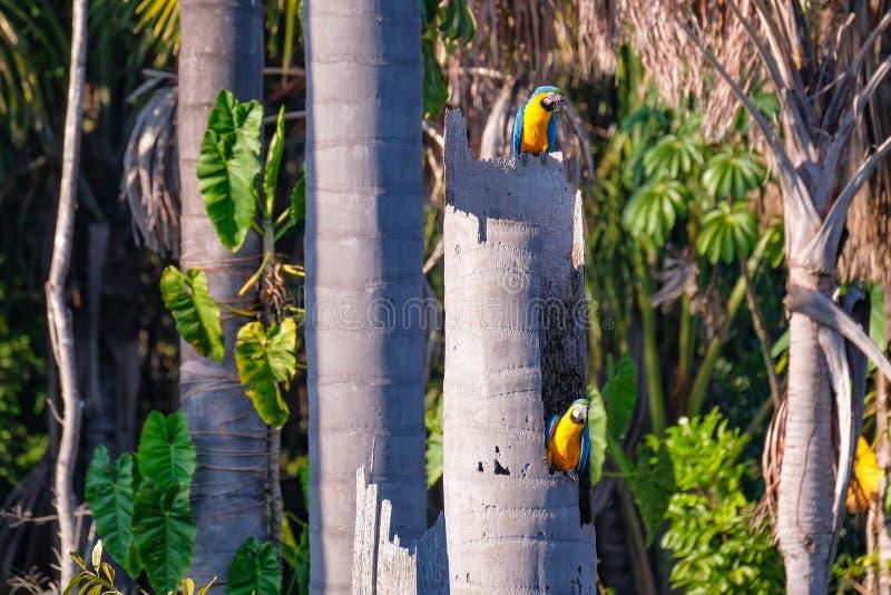 Голубой и желтый попугай ары, Ara Ararauna, лагуна Lagoa das Araras ладони, Bom Jardim, Nobres, Mato Grosso, Бразилия стоковые изображения