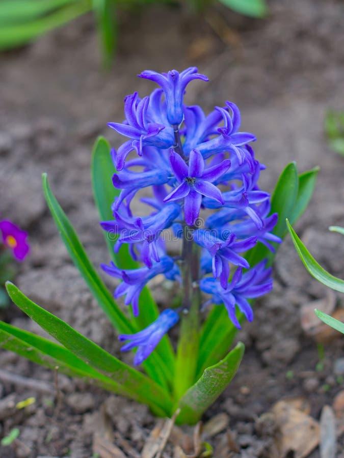 Голубой крокус цветков в саде стоковые изображения