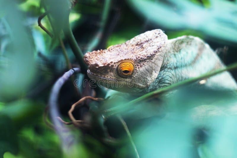 Голова и глаз гада хамелеона стоковое изображение rf
