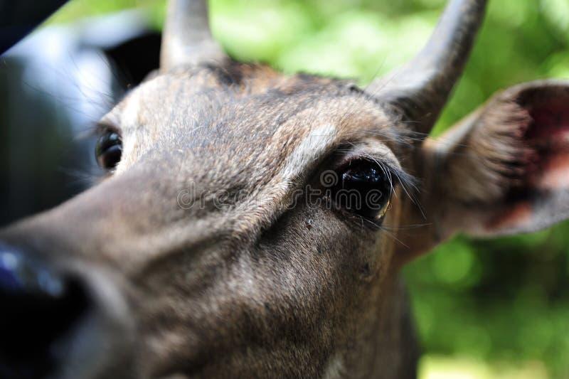 Голова оленей смотрит в окно автомобиля стоковое фото rf