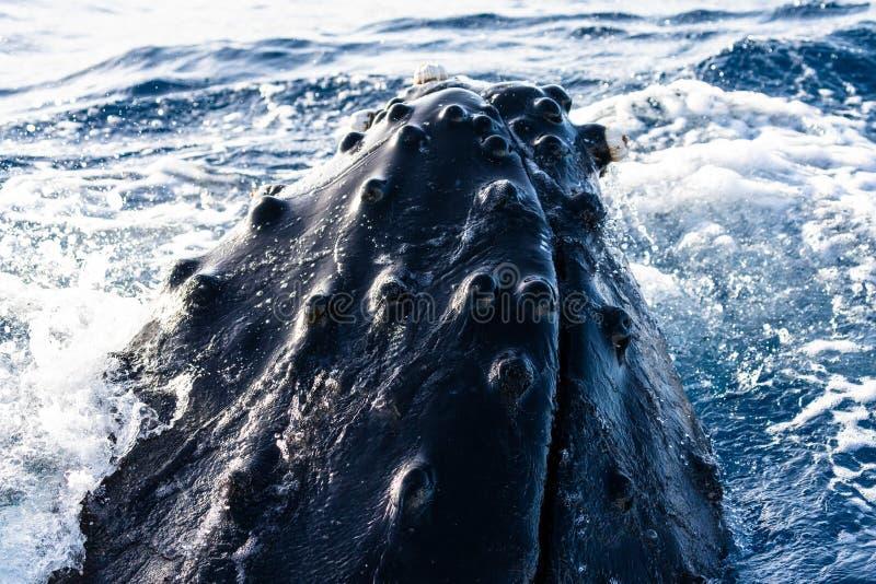 Голова spyhopping горбатого кита стоковые изображения