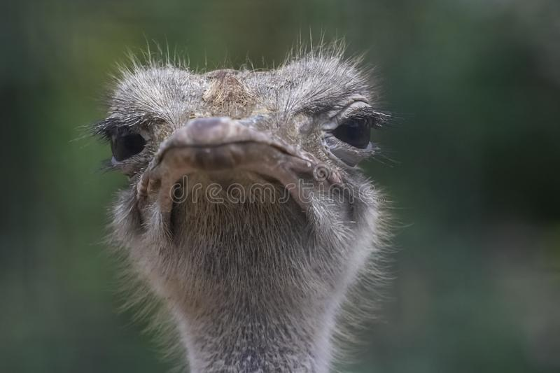 головной страус стоковое изображение