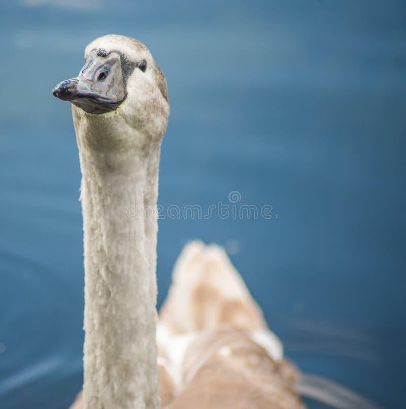 Голодный лебедь signet ища еда стоковое фото rf