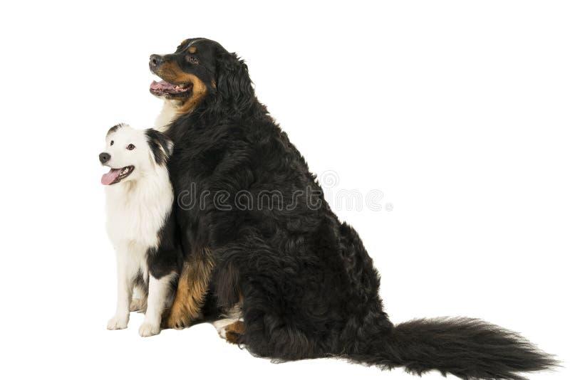 Гора Berner Sennen и австралийская собака чабана сидя на белой предпосылке стоковые изображения