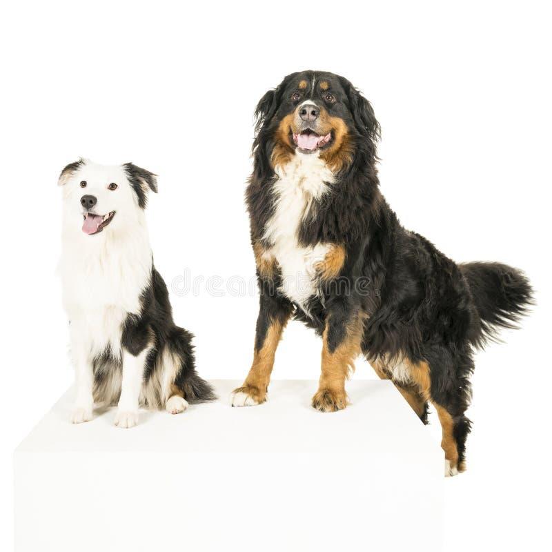 Гора Berner Sennen и австралийское положение собаки чабана на белой предпосылке стоковое изображение rf