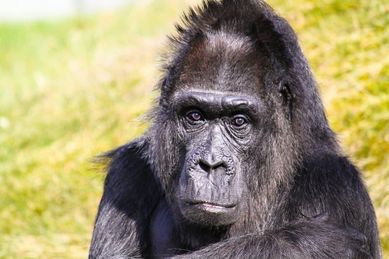 Горилла Смотреть вытаращиться гориллы в портрет объектива фотоаппарата главный стоковая фотография rf