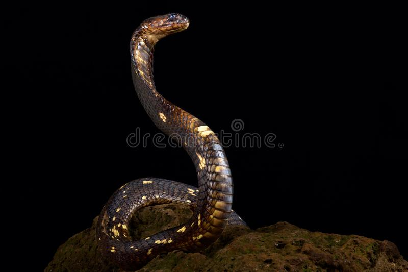 Египетское haje кобры кобры стоковая фотография rf