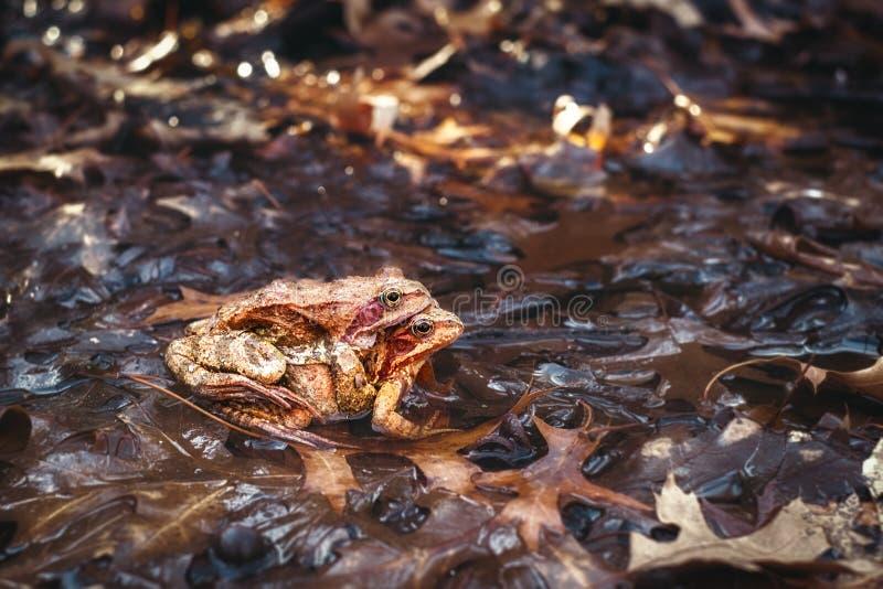 Естественное размножение лягушек в пруде стоковые изображения rf