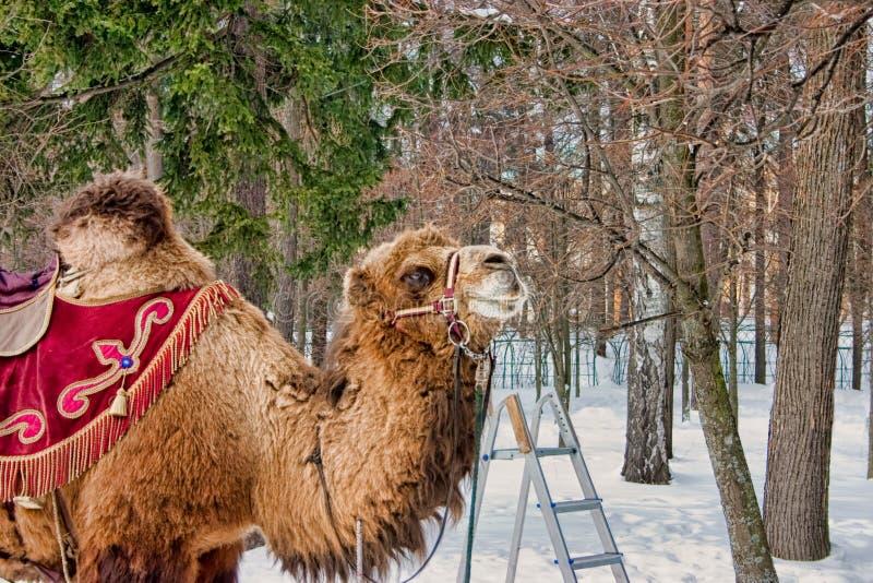 Ехать верблюд, поместье 2009 Archangelskoe стоковые изображения rf