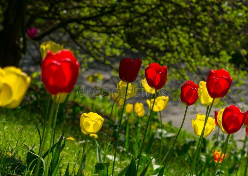 Желтые и красные тюльпаны на луге в различной сметливости, зеленые листья дерева на заднем плане стоковые изображения