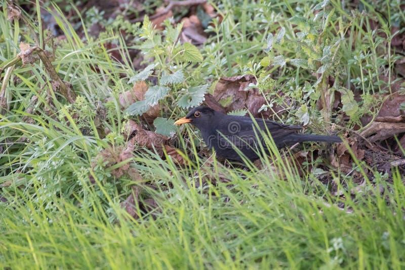 Желтые представленные счет поиски вороны для еды в траве стоковая фотография