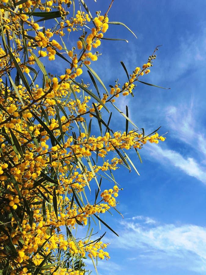 Желтые цветки мимозы стоковое изображение