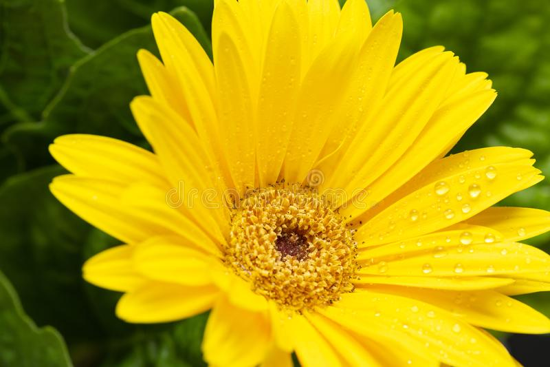 Желтый макрос маргаритки Gerber с капельками воды на лепестках закройте gerbera вверх playnig света цветка предпосылки стоковые фотографии rf