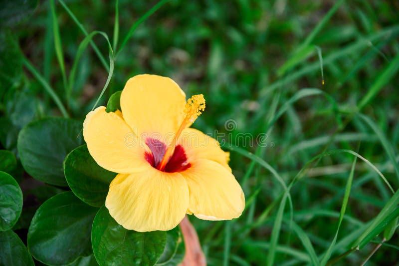 Желтый цветок гибискуса с красным цветнем зацветая на траве стоковые изображения