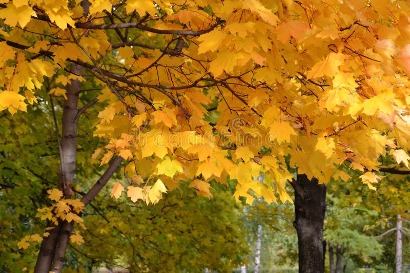 Yellow autumn maple, leaves, background, leaves, branches, trees. Green royalty free stock photography