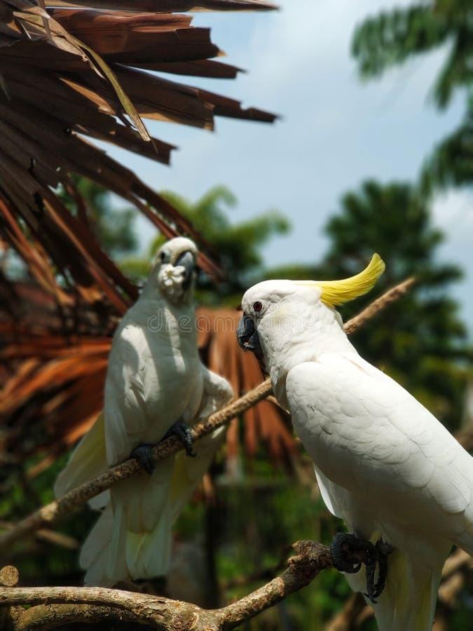 Желт-crested какаду или меньший сер-crested какаду сидят на ветви стоковое фото rf