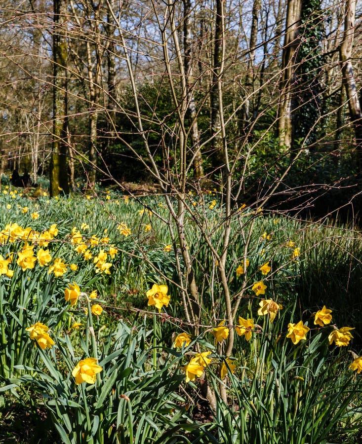 Желтое поле narcissus зацвело в старом парке стоковая фотография rf