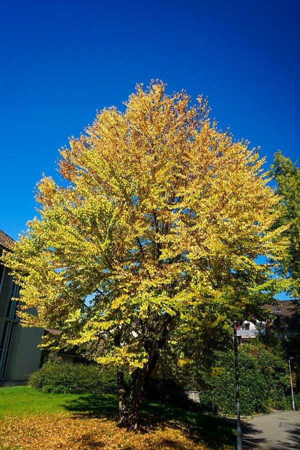 Желтое дерево с голубым небом в осени стоковая фотография rf