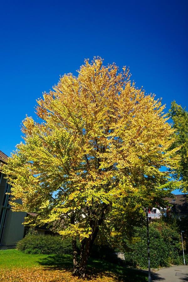 Желтое дерево с голубым небом в осени стоковое изображение rf
