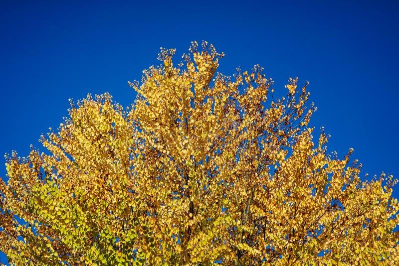 Желтое дерево с голубым небом в осени стоковая фотография