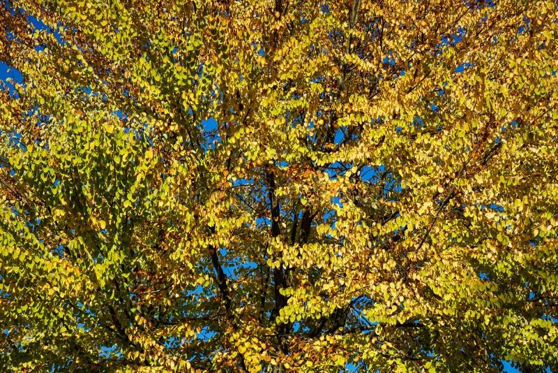 Желтое дерево с голубым небом в осени стоковые изображения rf