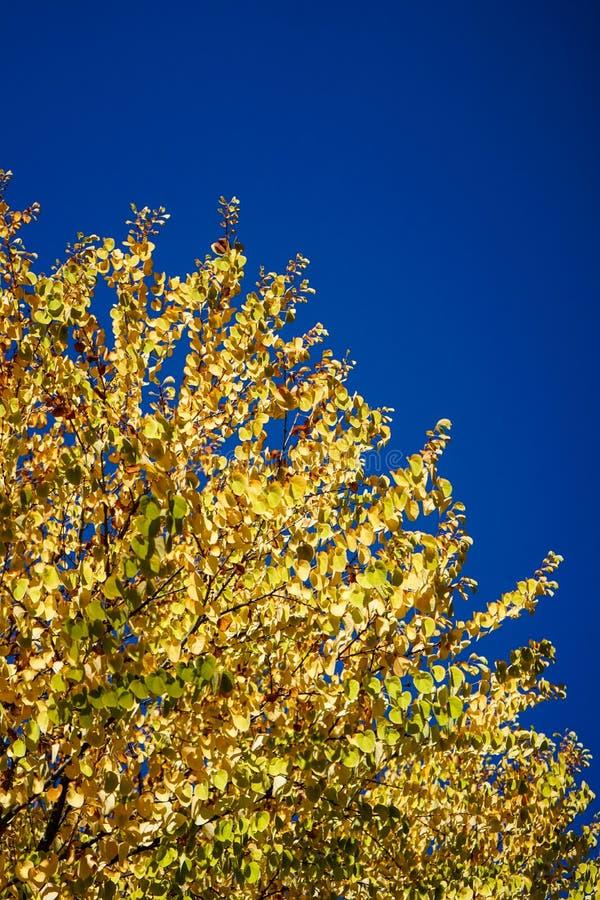 Желтое дерево с голубым небом в осени стоковое фото rf