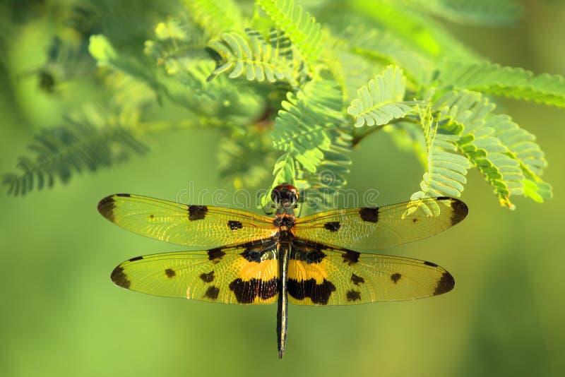 Женские dragonflies стоковое фото