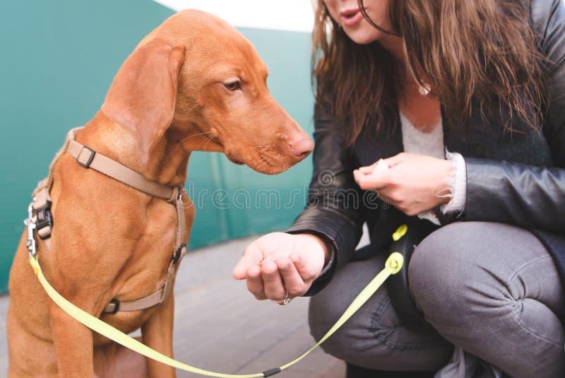 Женский владелец кормит собаку на улице Грустная собака не хочет есть Порода Vizsla Мадьяра стоковые фотографии rf