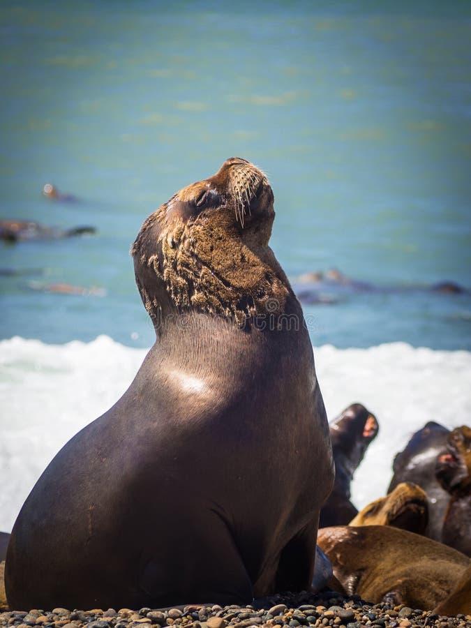 Женский волк моря в побережье Аргентины стоковые изображения
