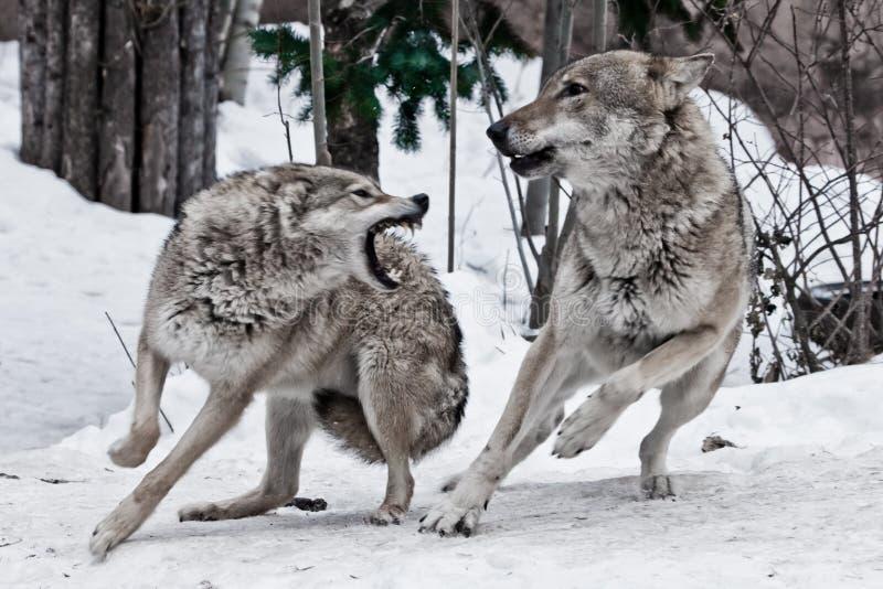 Женский волк щелкает на мужском волке и он deftly увертывает укус Бой во время свадеб рокотания волка, злостности эмоций и стоковая фотография