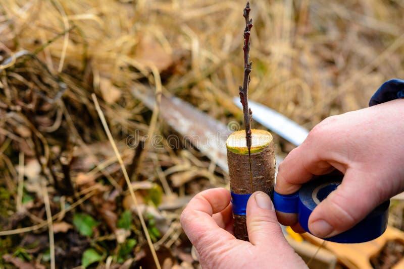 Женщина создает программу-оболочку дерево прививка с изолируя лентой в саде для того чтобы задержать сырость в ей в конце-вверх стоковые фото