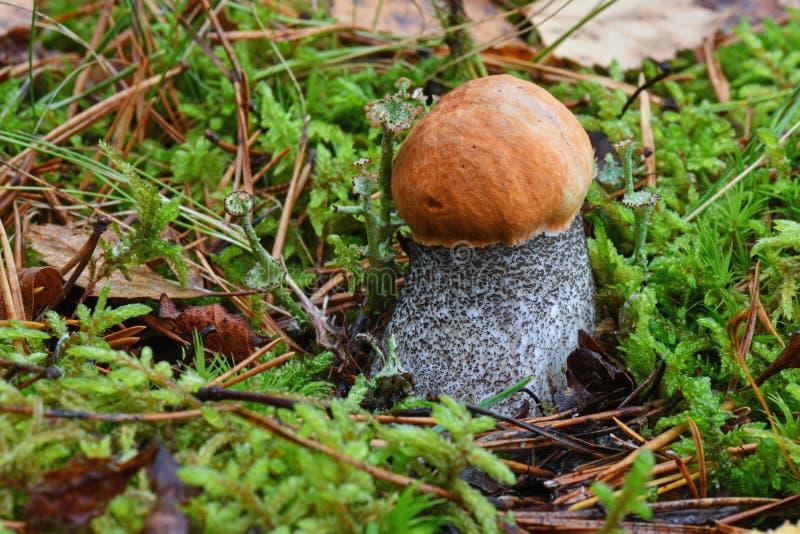 Живописный красно-покрытый конец aurantiacum лекцинума черенок scaber вверх Окруженный с зеленым мхом Грибки, гриб в осени для стоковая фотография rf