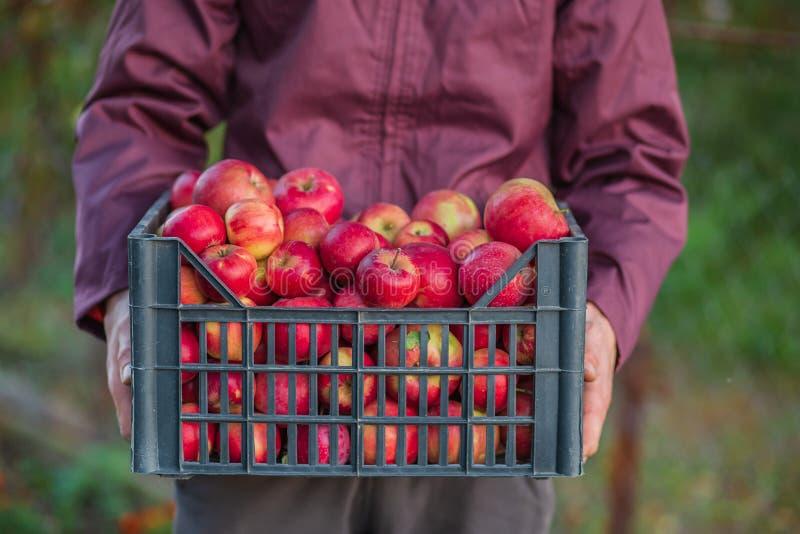 Жмущ органические красные яблоки, переполняя клеть яблок стоковое фото rf