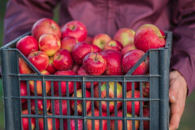 Жмущ органические красные яблоки, переполняя клеть яблок стоковое изображение