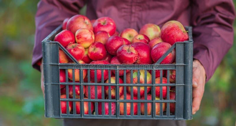 Жмущ органические красные яблоки, переполняя клеть яблок стоковое изображение rf