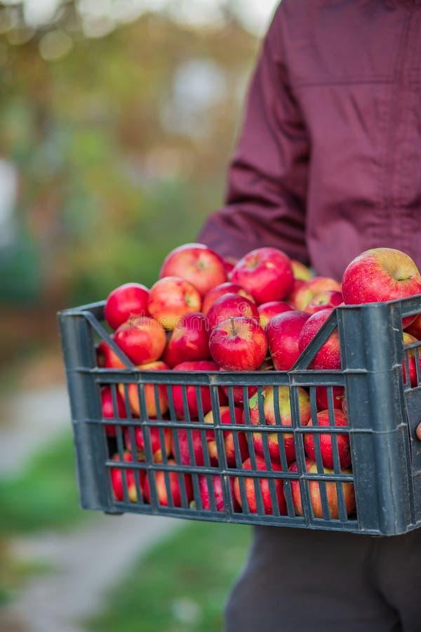 Жмущ органические красные яблоки, переполняя клеть яблок стоковая фотография