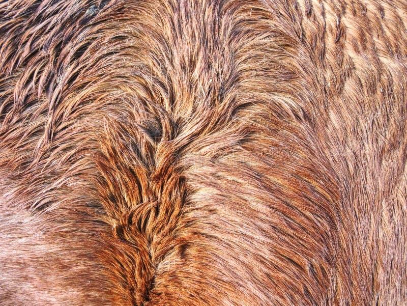 Заботящ для лошади в зиме, теплое толстое мех стоковое изображение