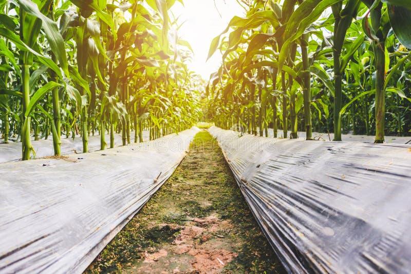 Завод мозоли с зеленым ростом листьев в поле земледелия стоковая фотография