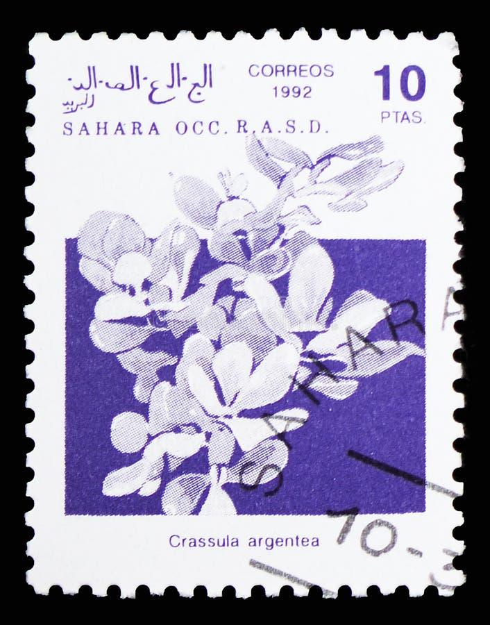Завод нефрита (argentea), Сахара Occ Crassula serie, около 1992 стоковая фотография rf