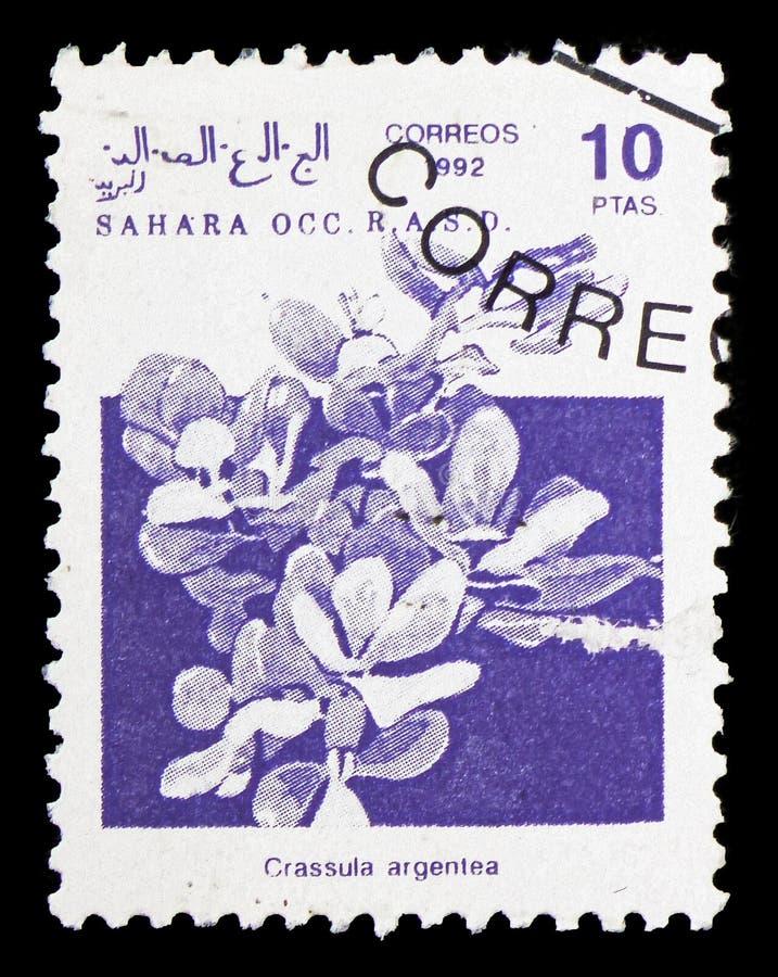 Завод нефрита (argentea) Crassula, serie Сахары, около 1992 стоковая фотография