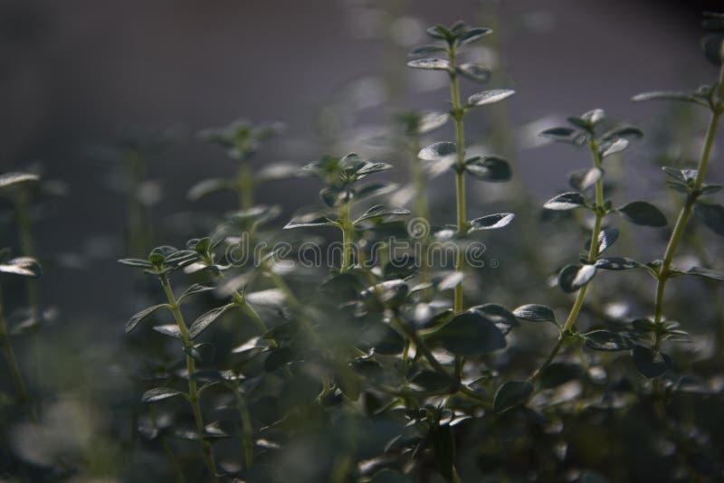 Завод душицы растя в саде травы стоковые фотографии rf