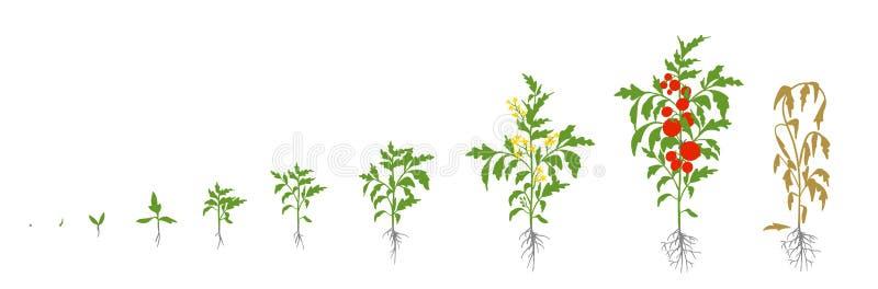 Завод томата Рост ставит иллюстрацию вектора Lycopersicum Solanum Зрея период От ростка к кусту с плодами иллюстрация вектора