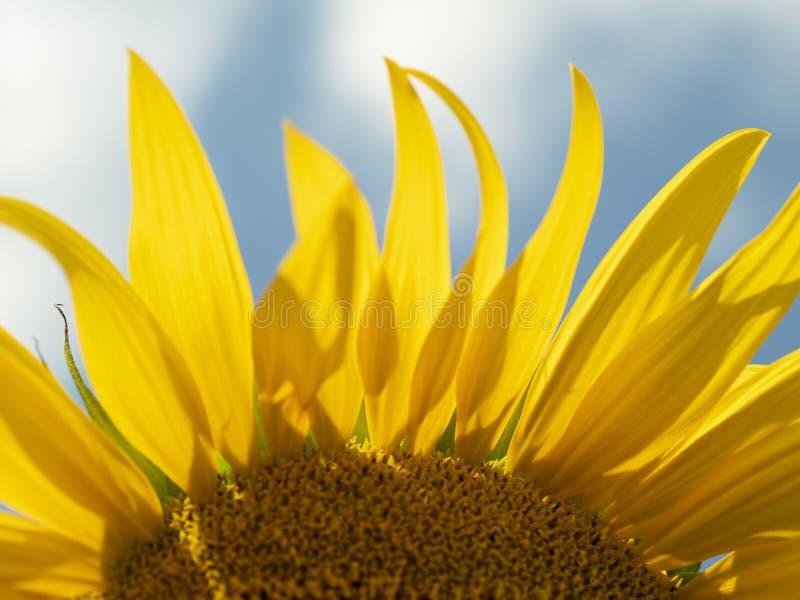 Закройте вверх верхней части солнцецвета стоковое изображение