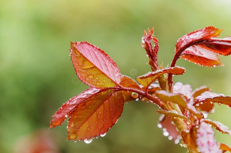 Закройте вверх листьев красной розы новорожденного с падениями воды стоковое фото rf