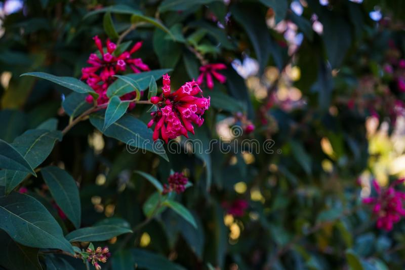 Закройте вверх пурпурного цветка cestrum или elegans cestrum стоковые изображения rf