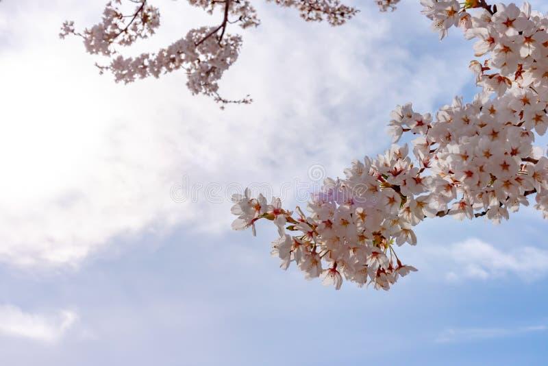 Закройте вверх цветки вишневых цветов полного цветения красивые розовые стоковое изображение rf