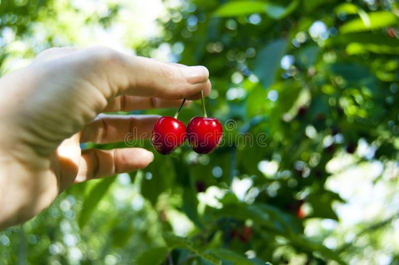 Закройте вверх рудоразборки руки женщины фермера, жмущ свежие зрелые вишни прямо от дерева, фильтр через листья, тень солнца стоковое фото