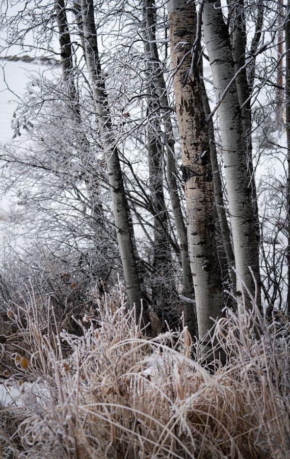 Замороженные деревья и травы березы стоковое изображение rf