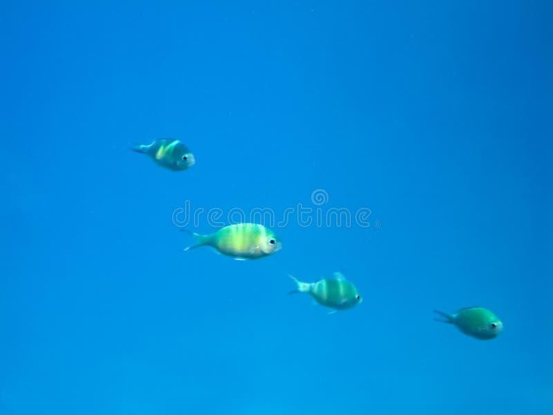 Заплыв рыб над коралловым рифом, подводным миром Красного Моря стоковая фотография